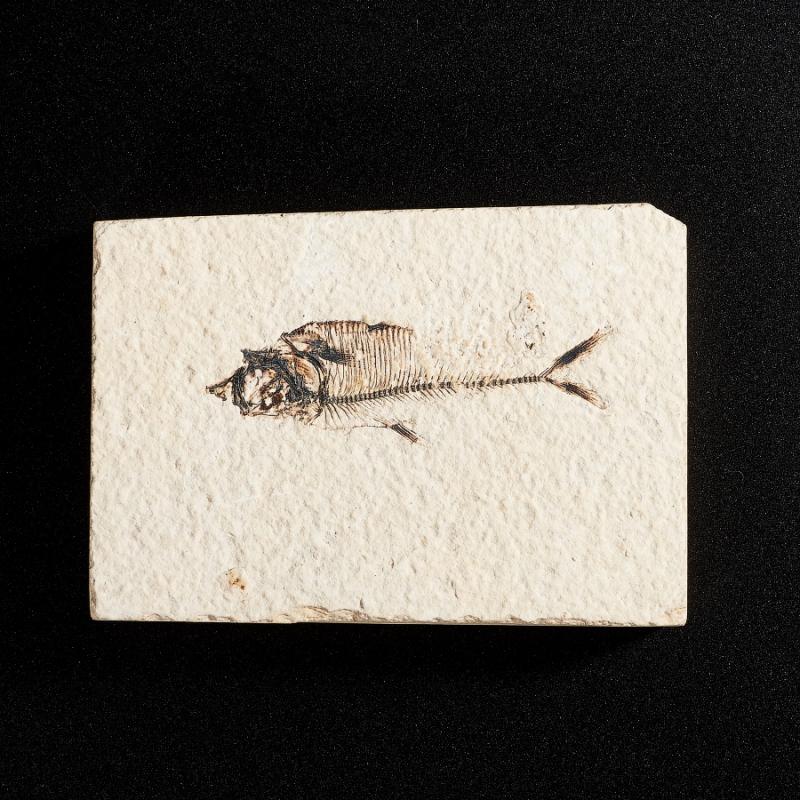 Окаменелость слепок рыбы  M