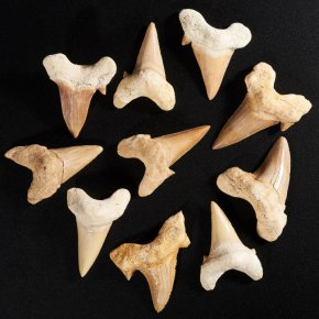 """Окаменелость """"акулий зуб"""" Марокко 4-5 см 1 шт"""